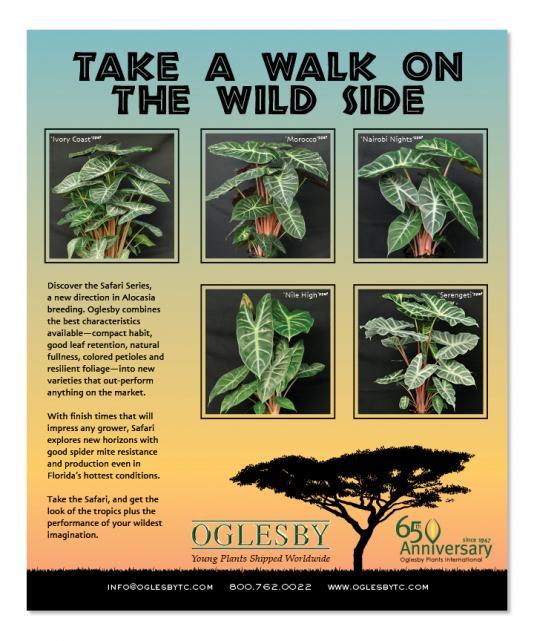 Oglesby Safari ad