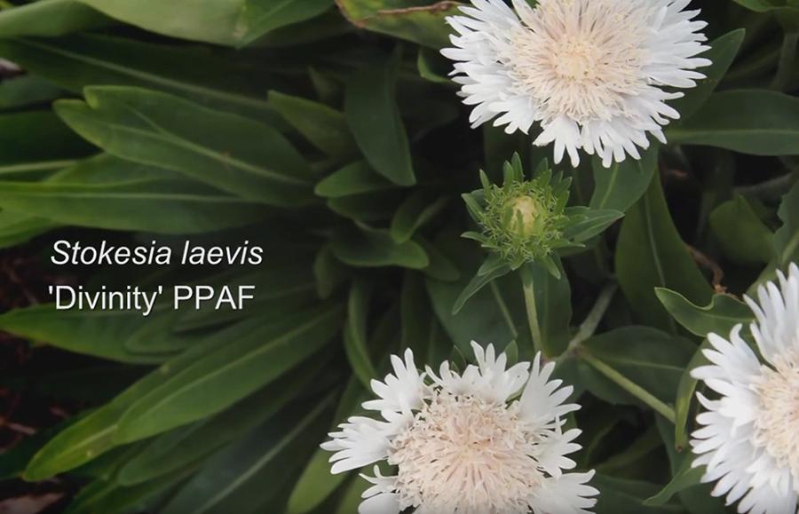Emerald Coast Growers Stokesia video